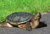 Curious Snapping Turtle — Stock Photo