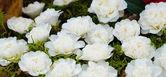 Camellias — Stock Photo