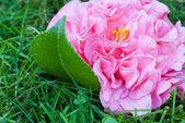 山茶花和叶 — 图库照片