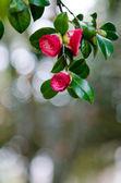 Camellia branch — Stock Photo