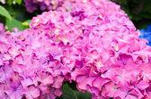 Hydrangeas Garden — Stock Photo