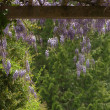 Wisteria — Stock Photo #13658943