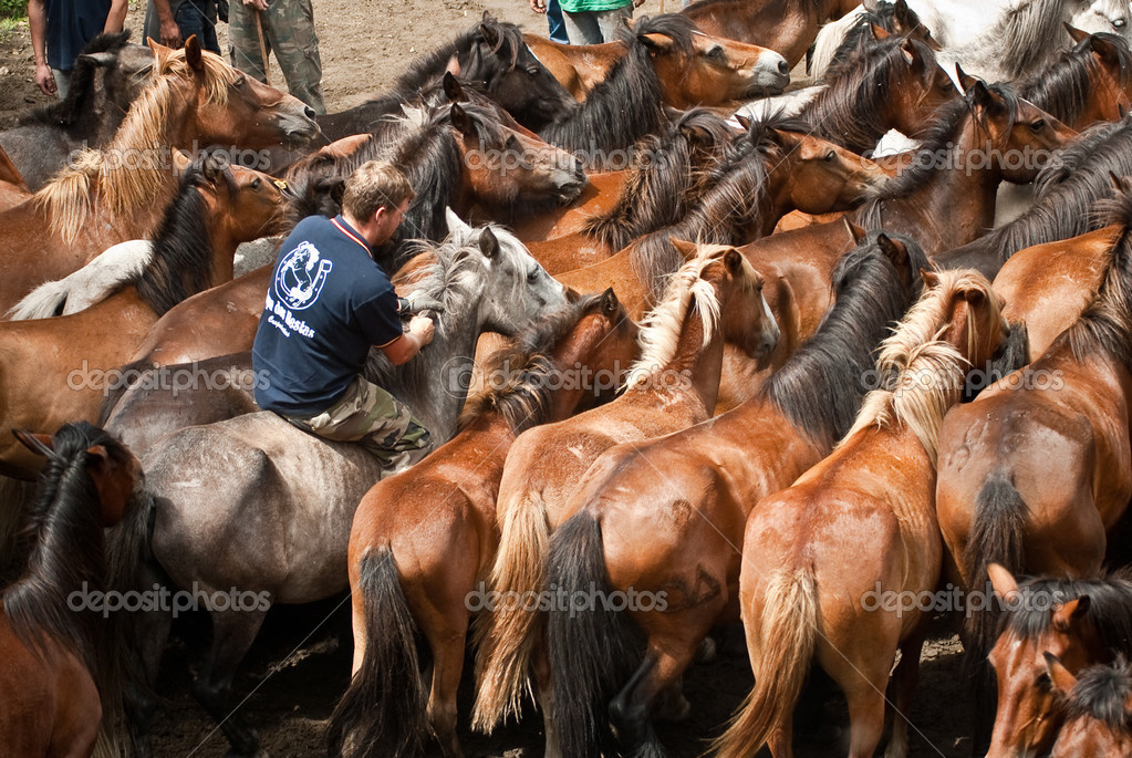 "PONTEVEDRA - August 2: A horseman riding between wild horses in a traditional celebration ""Rapa das Bestas"" on 2 August 2009 in Viascon, Pontevedra, Spain. — Stock Photo #13660104"