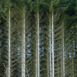 Fir trees in France — Stock Photo #13937276