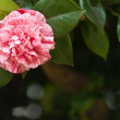 Lone camellia — Stock Photo
