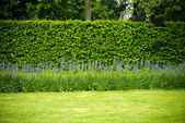 Hedge in a garden — Stock Photo