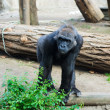 Photo: Gorilla