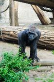 горилла — Стоковое фото