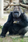 Gorilla — Photo