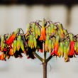 Stock Photo: Kalanchoe