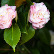 Camellia Mary J. Wheeler — Stock Photo
