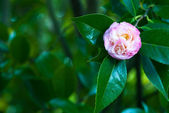 Camellia Mary J. Wheeler — Stockfoto