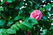 Camellias — Stockfoto