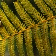 Fern — Stock Photo #36975729