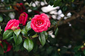 Camellias tree — Stock Photo