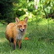 Red fox licks his lips — Stock Photo