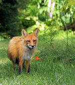 Red fox licks his lips — Stock Photo