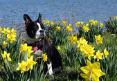 Boston Terrier sits in a field of daffodils — Stock Photo