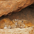 Bobcat Pair — Stock Photo
