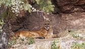 Mountain lion — Stock Photo