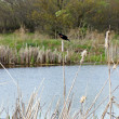 Red winged blackbird in a natural wetland area - Stock Photo