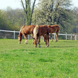 Three young Belgian horses — Stock Photo