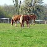 Three young Belgian horses — Stock Photo #25083269
