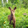 Young moose calf — Stock Photo
