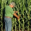 Farmer inspects the corn crop — Stock Photo
