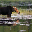 Female moose in the swamp — Stock Photo