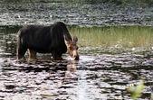 Female moose in the swamp — Stock Photo