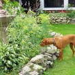 Hungarian Vizla hunts in the garden — Stock Photo