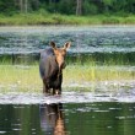 Moose having breakfast — Stock Photo #29243365