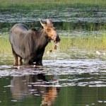 Moose having breakfast — Stock Photo #29243391