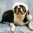Boston Terrier wears her santa hat — Stock Photo