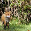 Stock Photo: Wild red fox