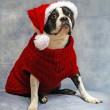 Boston Terrier dressed for Christmas — Stock Photo