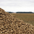 Stock Photo: Sugar beets in field