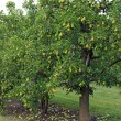 Stock Photo: Pear Orchard