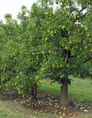 Pear Orchard — Stock Photo