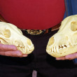 Compare wolf and coyote skulls — Stock Photo