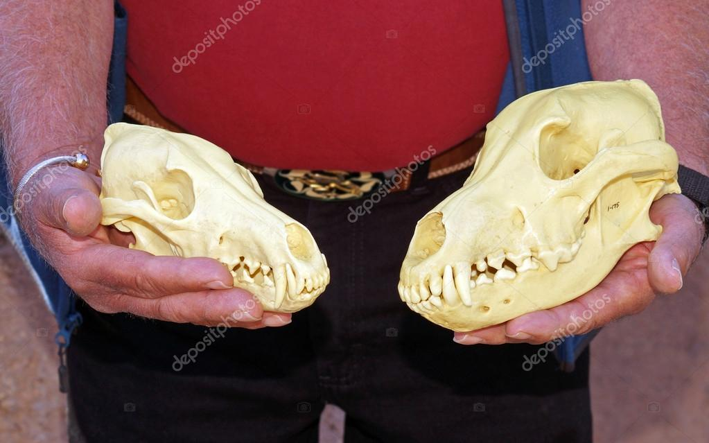 http://st.depositphotos.com/1740755/4064/i/950/depositphotos_40643653-Compare-wolf-and-coyote-skulls.jpg