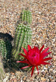 Beautiful scarlet bloom of the hedgehog cactus — Stock Photo