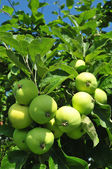 Apple tree and apples in the orchard — Stock Photo