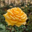 Yellow rose flower blossom — Stock Photo