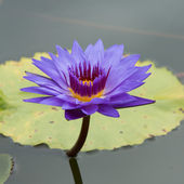 Purple lotus in the pool — Stock Photo