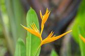 Flor amarilla ave del paraíso — Foto de Stock