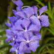 Stock Photo: Purple VandOrchid