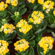 Stock Photo: Yellow kalanchoe flower