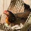 Hen with little chickens — Stockfoto